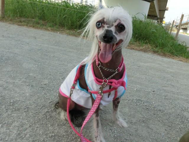 山村様の愛犬 ビアンカちゃん(チャイニーズ・クレステット・ドッグ)