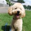 中島様の愛犬 リロちゃん(トイプードル)